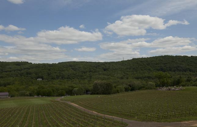 Vineyard in New Jersey