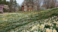 Daffodil Day Festival