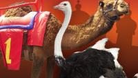 Camel And Ostrich Racing