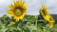 The Sunflower Trail