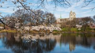 Cherry Blossoms at Branch Brook Park in Newark
