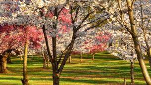 Spring Cherry Blossoms New Jersey