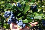 DiMeo Farms & Blueberry Plants Nursery