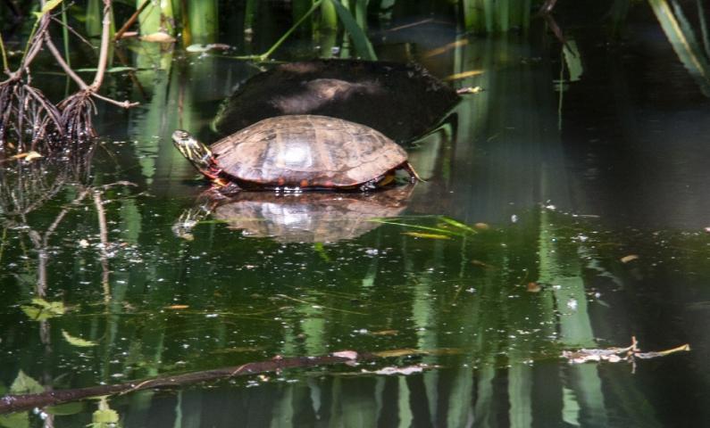 Murray Pond Resident