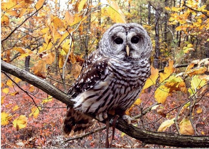 Squam, a barred-owl, is a member of our Environmental Education Team.