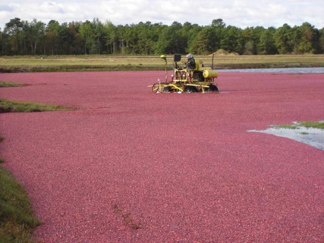 Cranberry Harvest at Whitesbog