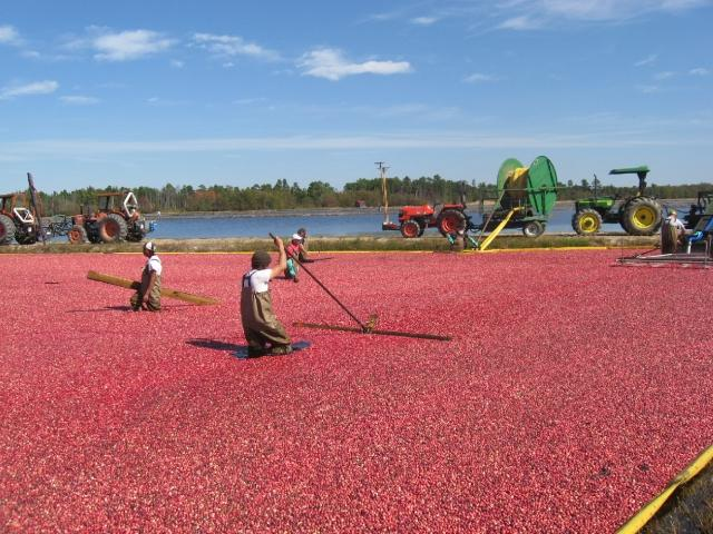 October Cranberry harvest