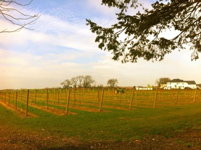Cedarvale Winery's Vineyard